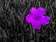 Alone flower. Alone purple flower in the garden Stock Photography