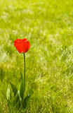 Alone flower tulip outdoor. Copy space Stock Image