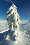 Alone Frosted Tree Stock Image
