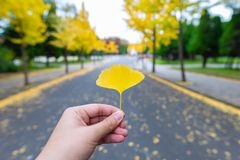 Alone Ginkgo leaf in the Citizen`s Forest Park stock photo