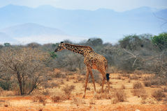 Alone giraffe at the drought season in Kenya Royalty Free Stock Photography