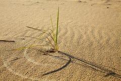 Alone grass in desert. Grass small shrub in desert Stock Images