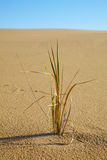 Alone grass plant in desert Stock Photography