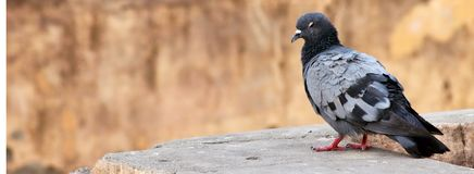 Alone gray indian pigeon close up wooden background royalty free stock image