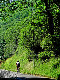 Cyclist alone in green. A cyclist crosses a tree-lined road of the Tuscan countryside italy europe stock photo