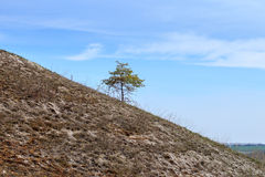Alone growing pine tree on the hillside Royalty Free Stock Photo