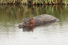 Alone Hippo Stock Images
