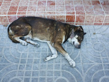 Alone homeless old brown dog sleeping on the street Royalty Free Stock Photos