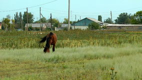 Alone horse eating on a rural field stock video
