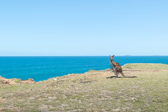 Alone Kangaroo near the clif and sea background at Coffs Harbour. Australia Stock Photos