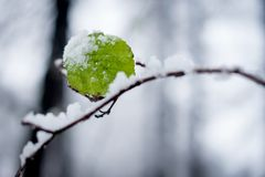 Alone leaf under first snow Stock Photo