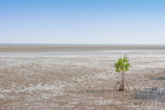 Alone mangrove tree grows in the ocean beach Royalty Free Stock Photo