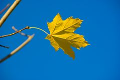 Alone maple leaf Royalty Free Stock Photography