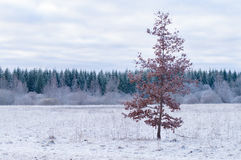 Alone misty tree in snow morning Royalty Free Stock Images