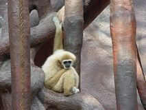 Alone monkey Royalty Free Stock Photos