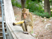 Alone monkey Royalty Free Stock Images