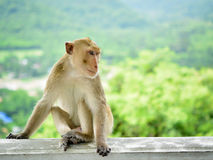 Alone monkey Stock Photography