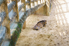 Alone mountain Goat under bridge Stock Images