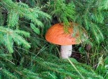 Alone mushroom Stock Images