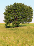 Alone oak Stock Images