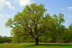 Alone oak on meadow Royalty Free Stock Image