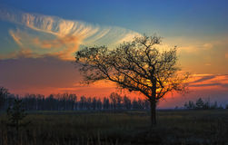 Alone Oak at sunset. Alone bare tree in the field against the red-orange setting sun and cirrus clouds Stock Images