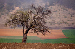 Alone oak tree in spring meadows Royalty Free Stock Photo