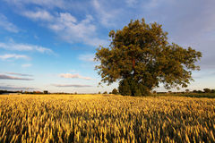 Alone oak tree standing in the field Stock Photography