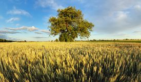 Alone oak tree standing in the  field Royalty Free Stock Image