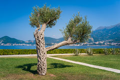 Alone olive tree Royalty Free Stock Photography