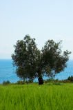 Alone olive tree on the field. Greece, Halkidiki Royalty Free Stock Photos