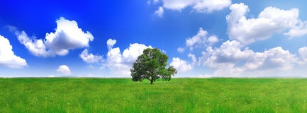 Alone one big tree on green field . Panorama royalty free stock photo