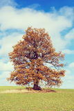 Alone orange autumn tree on a green field Royalty Free Stock Photo