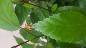Alone orange bug with black dots and triangle symbol on the leaves Stock Images