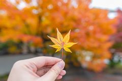Alone Orange Maple Leaf Autumn in temple, Kyoto, Japan stock photos