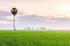 Alone palmyra tree on the field #2 Royalty Free Stock Image