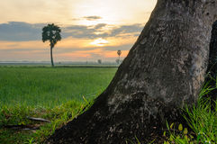 Alone palmyra tree on the field #4 Royalty Free Stock Photography
