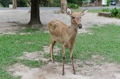 Alone panolia eldii in safari Stock Image