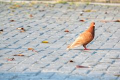 Alone pigeon on the concrete yard. stock photos