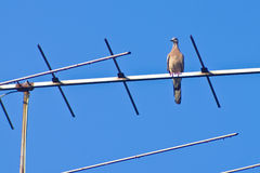Alone pigeon on television antenna Stock Images