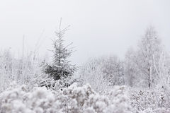 Alone pine (Christmas) tree in frozen meadow. Winter in Lithuani Stock Photo