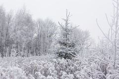 Alone pine (Christmas) tree in frozen meadow. Winter in Lithuani Royalty Free Stock Images