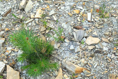 Alone pine in the rocks. Alone pine growing in the rocks Stock Photo