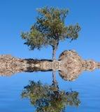 Alone Pine Tree Stock Image