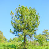 Alone pine tree Royalty Free Stock Photos