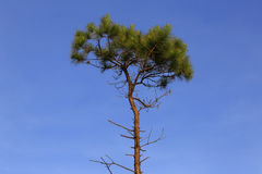 Alone pine tree in grass field Royalty Free Stock Images