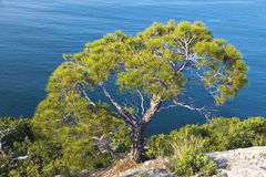 Alone pine tree growing on the slope of the mountain Stock Photo