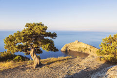 Alone pine tree growing on the slope of the mountain in the Crimea Royalty Free Stock Photos