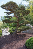 Alone pine tree in the Japanese garden Royalty Free Stock Photography