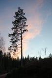 Alone pine tree silhouette Royalty Free Stock Photos